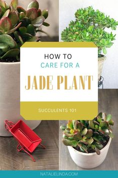 Learn to care for a beautiful jade plant with this helpful guide! Jade plants are some of the most easy-to-care for succulents and they're perfect for gardening beginners or those who love houseplants! Growing Succulents From Seed, Types Of Succulents, Succulents Garden, Succulent Soil, Crassula Ovata, Jade Plants, Organic Fertilizer, Plant Needs, Plant Design