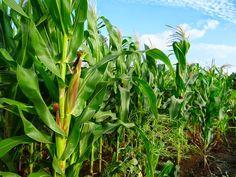 Agribusiness in Kenya: Maize Farming in Kenya