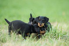 Jagdterrier German Hunting Terrier