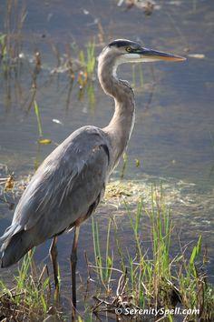 Birds ©: Great Blue Heron at Dusk, [Arthur R. Sea Birds, Wild Birds, Animals And Pets, Cute Animals, Shorebirds, Blue Heron, Bird Pictures, Birds Of Prey, Bird Watching