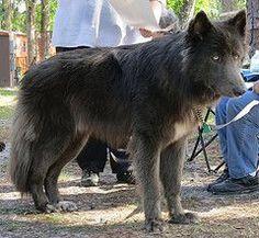 Navajo (sebrynart) Tags: shepherd bluebay bluebayshepherd