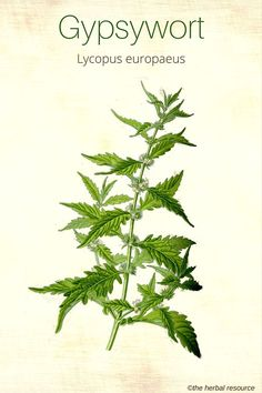 Holistic Remedies Gypsywort (Lycopus europaeus) Also used to make a black dye. - Information on the Medicinal Herb Bugleweed (Lycopus virginicus) and Its Side Effects, Health Benefits and Traditional Uses in Herbal Medicine Holistic Remedies, Natural Health Remedies, Natural Cures, Natural Healing, Herbal Remedies, Herbal Plants, Medicinal Plants, Natural Medicine, Herbal Medicine