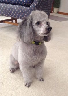 My sweet sweet boy. Silver Poodle, Cute Small Dogs, Sweet Sweet, Shih Tzu, Dogs And Puppies, Miniature, Pets, Random, Animals