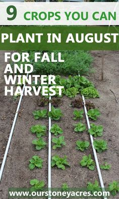 9 crops you can plant in August for fall and winter harvest. This post lets you know what crops you can plant in your garden during August and then harvest all fall and into the winter as well.