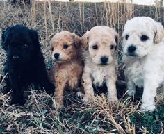 Sugar Puffs, Labrador Retriever, Dogs, Animals, Labrador Retrievers, Animales, Animaux, Pet Dogs, Doggies
