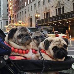 Today we have 3 gorgeous girls sharing their lives in our latest #socialpugprofile interview. Head on over to www.thepugdiary.com to get to know the @pugdashians! #thepugdiary