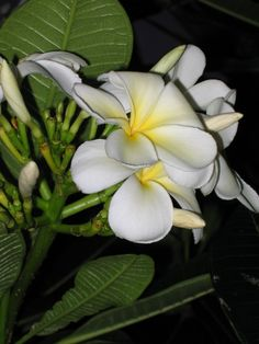 Plumeria flower, Hawaii