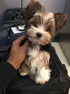 Cute Teacup Puppies, Cute Puppies, Cute Dogs, Dogs And Puppies, Biewer Yorkie, Yorkie Puppies, Animals And Pets, Cute Animals, Yorshire Terrier