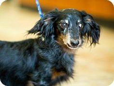 Clearfield, UT - Dachshund. Meet Keno a #senior pup for Adoption.