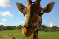 「giraffe smile」の画像検索結果