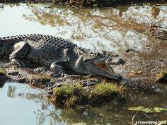 A Crocodile at Kakadu National Park, Australia Kakadu National Park, National Parks, Sydney Australia, Australia Travel, Living In Adelaide, Saltwater Crocodile, Australian Continent, Australian Animals, Crocodiles