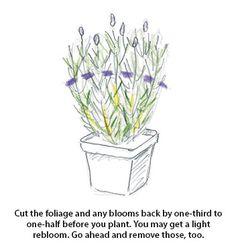 ht-p-lavender-FirstYear