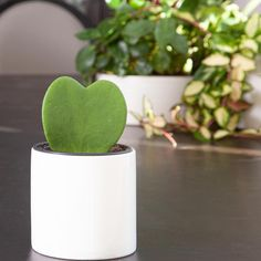 Check out our easy-care, pet-friendly, low-light and unusual houseplants. Find the perfect potted plant! Large Plants, Potted Plants, Organic Ceramics, Best Indoor Plants, Plant Lighting, Tiny Heart, Plant Sale, Growing Plants, Low Lights