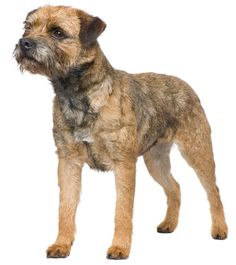 Everything about the Border Terrier dog breed. Discover Border Terrier coloring, sizing, traits, lifespan, and compare Border Terriers to other dog breeds. Terrier Rescue, Terrier Dog Breeds, Rat Terriers, Terrier Puppies, Big Dog Little Dog, Big Dogs, Border Terrier Puppy, Education Canine, Companion Dog