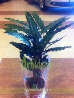 Calathea - 80cm inaltime Calathea, Glass Vase, Decor, Plant, Decoration, Dekoration, Inredning, Interior Decorating, Deco
