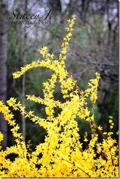 Forsythias in bloom-Spring...this is my family's flower!  Last name is Forsyth!!  About 6 grandfathers back William Forsyth developed this for Mary Queen of Scots because she liked yellow flowers!  Good Job, eh!