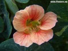 http://images.flowers.vg/1024x768/nasturtium_pink.jpg
