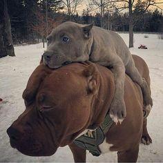 American pit bull terrier #pitbull