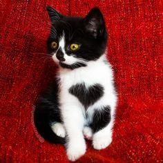 Кошка, которая носит сердце на своей груди