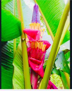"""Pink Banana Blossom"" by joeyartist, 2013 , Banana Blossom, Banana Flower, Banana Palm, Pink Banana, Tropical Fruits, Tropical Art, Tropical Flowers, Bananas, Birth Art"