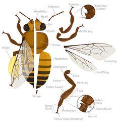 Honey Bee Anatomy Ask A Biologist -