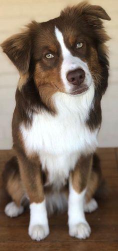 Australian Shepherd Dog Breed Information, Popular Images - Hunde Bilder - Dogs Aussie Puppies, Cute Puppies, Cute Dogs, Awesome Dogs, Funny Dogs, Dalmatian Puppies, Cavapoo Puppies, Puppies Tips, Pomeranian Puppy