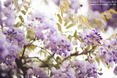 Purple Wisteria - Day 263/365 | Flickr - Photo Sharing!
