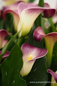 Zantedeschia 'Nashville' is a new bi-colour Zantedeschia, with a soft cream coloured centre, and a wide pink coloured brim, which deepens to a deep mauve as the flowers age and mature.