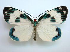 Taiwan Butterfly & Moth: Zygaenidae photos