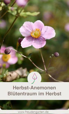Herbstanemonen Pflege Standort Boden Vermehrung Herbstanemone Pflanzen Pflegeleichte Pflanzen