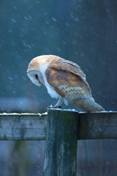 Barn owl out of the barn and on the fence