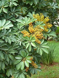 Schefflera Arboricola (schefflera arboricola): Schefflera arboricola (syn. Heptapleurum arboricolum) is a flowering plant in the family Araliaceae, native to Taiwan as well as Hainan. Its common name is dwarf umbrella tree, as it appears to be a smaller version of the umbrella tree Schefflera actinophylla.  https://en.wikipedia.org/wiki/Schefflera%20arboricola