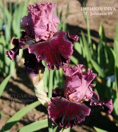 Iris FASHION DIVA | Stout Gardens at Dancingtree