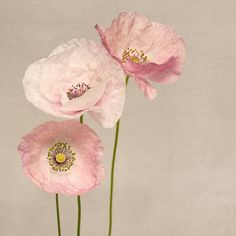 Fine art flower photography print of sweet pink & white shirley poppies by Allison Trentelman.