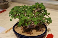 https://flic.kr/p/Mjnwui | Pelargonium cotyledonis CSSA 2012.JPG