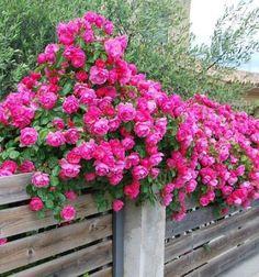 Cómo+Cultivar+Rosales