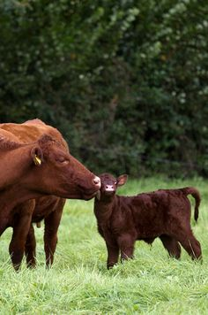 Redpoll cow and calf