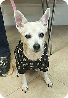 Bronx, NY - Chihuahua Mix. Meet Sophia, a dog for adoption. http://www.adoptapet.com/pet/14707353-bronx-new-york-chihuahua-mix