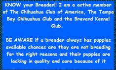 Small hobby breeder of AKC Chihuahuas, bred for good health, temperament, and show quality. Chihuahua Breeders, Chihuahuas, Puppies, Create Website, Small Dogs, Destiny, Life Is Good, Health, Cubs