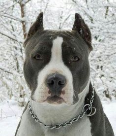 5 Interesting Facts about Pit Bulls   The Pet's Planet