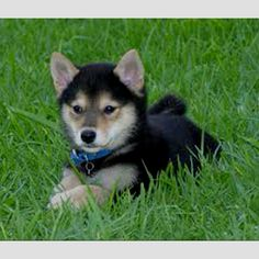 Love Shiba Inu puppies!