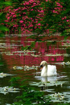 "'Ditsy' Rose says: "" I sooo need a swan in my garden....sigh! ""   Ephemeral Emerald   (image by outdoormagic,tumblr)"