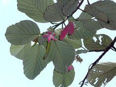 Dipterocarpus obtusifolius fruit