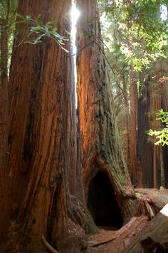 Muir Woods. Hard to imagine how small you are in comparison to those trees until you are right there next to them. Spectacular!