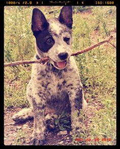 Koda the adorable Australian Cattle Dog