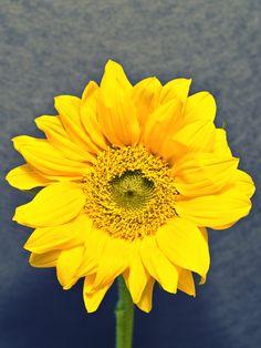 Sunflower by Stacy White, via 500px