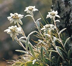Edelweiss.... Flower of Austria (and Germany), and Switzerland by anja