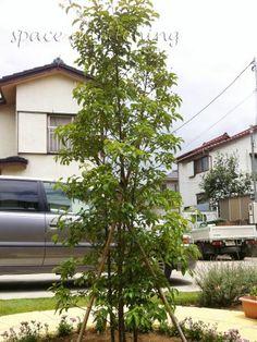 植栽 シンボルツリー 常緑樹 常緑ヤマボウシ