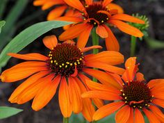 love this flower- think it is called 'tiki torch'?