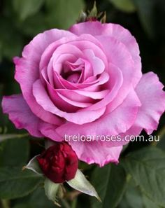 NEPTUNE* - Treloar Roses. If you loved Blue Moon, this rose is for you, very fragrant.